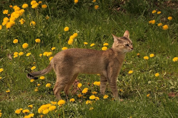 Chausie cat outdoor